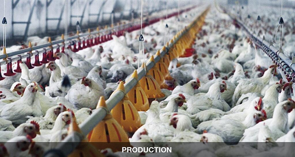 Gearboxes in poultry farming, hens move to detach the pollen
