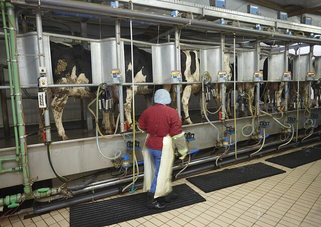 automatic milking system AMS industry cow farm.jpeg